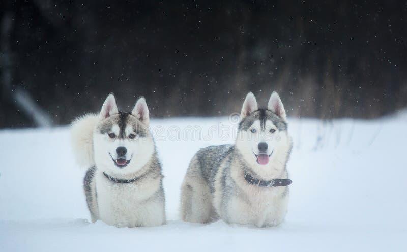 Perros del husky siberiano en fondo del invierno Dos perros fornidos que sorprenden que se colocan en la nieve foto de archivo