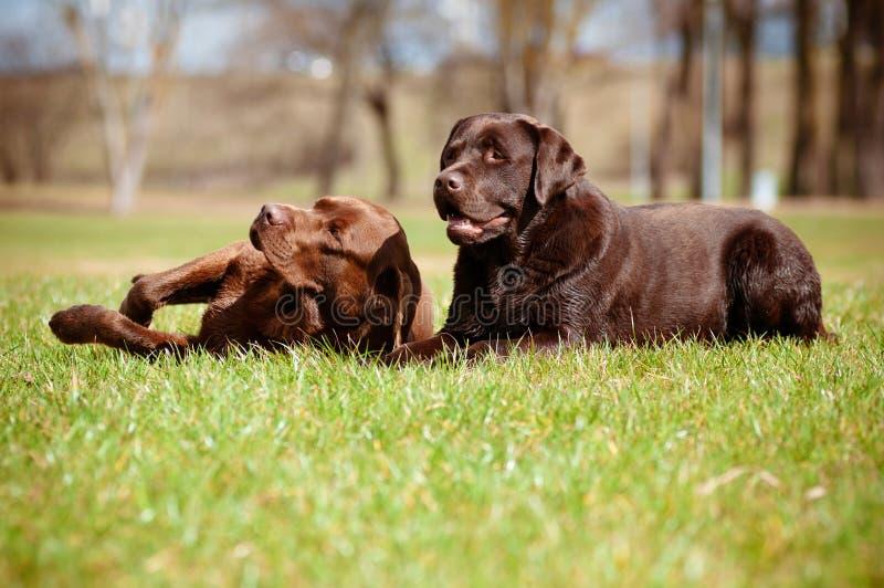 Perros del labrador retriever fotos de archivo