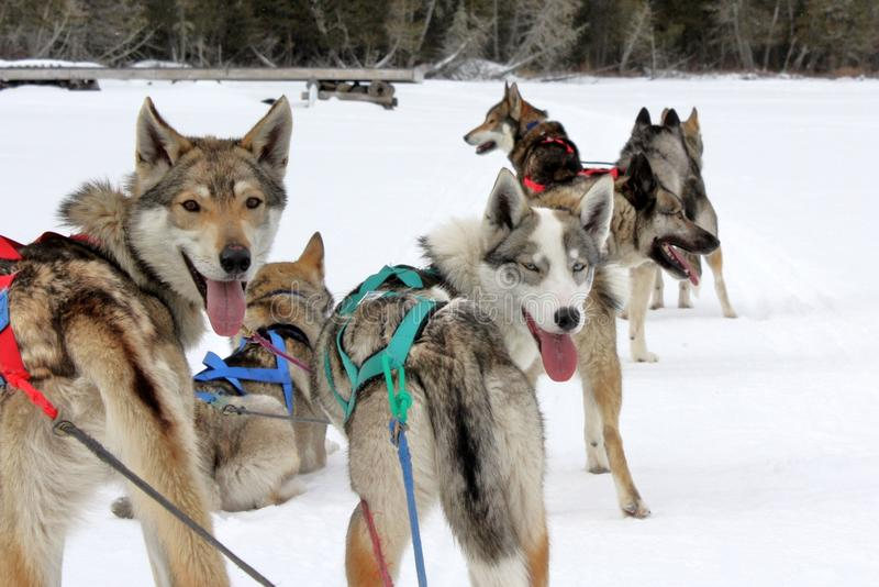 Perros del ruido de fondo fotografía de archivo libre de regalías