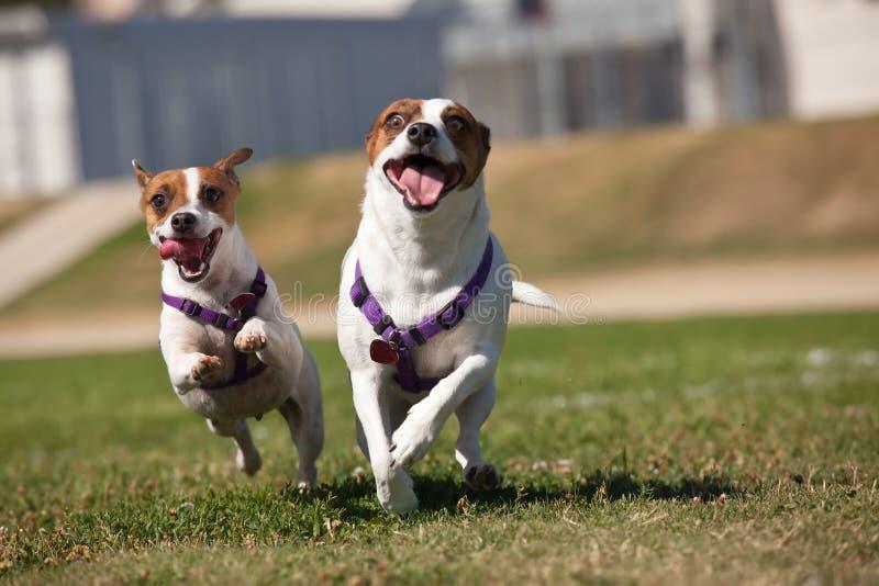 Perros del terrier de Gato Russell que se ejecutan en la hierba fotos de archivo libres de regalías