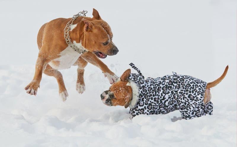 Perros del terrier de Staffordshire americano que juegan en invierno fotos de archivo