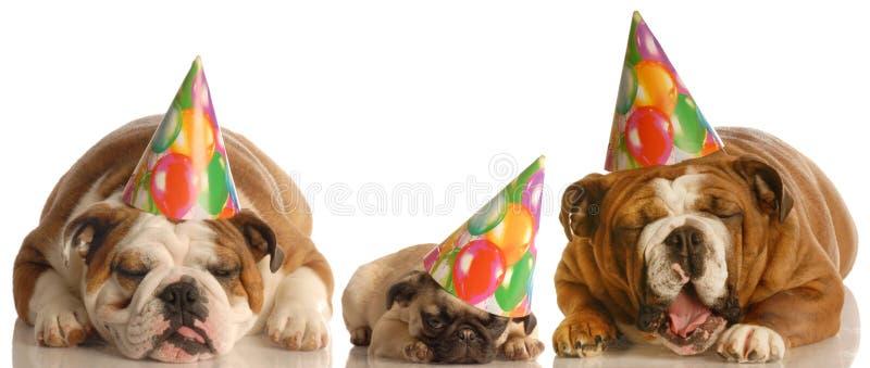 Perros divertidos del cumpleaños el gemir fotos de archivo libres de regalías