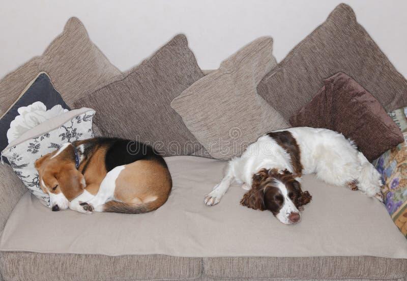 Perros el dormir imagen de archivo libre de regalías