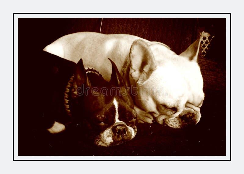 Perros el dormir fotografía de archivo