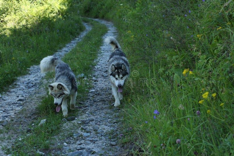 Perros en el bosque de la montaña en el verano fotos de archivo