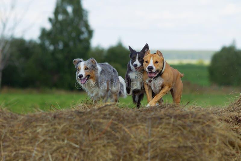 Perros en el heno Border collie y Staffordshire Terrier en los rollos del heno foto de archivo