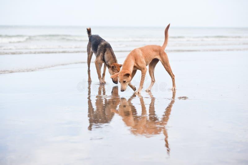 Perros en la playa arenosa, vacantion del verano fotos de archivo libres de regalías