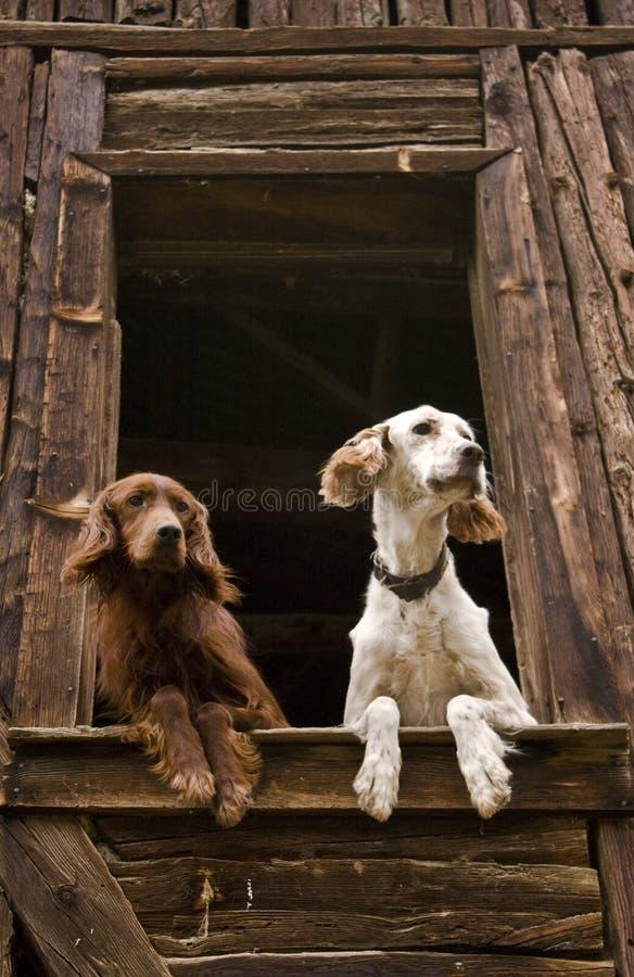 Perros en la ventana fotos de archivo libres de regalías
