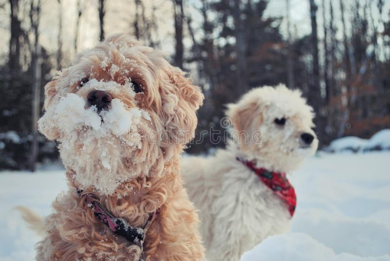 Perros en nieve foto de archivo libre de regalías