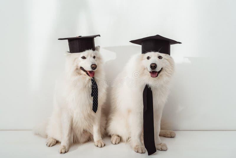 Perros en sombreros de la graduación fotografía de archivo libre de regalías