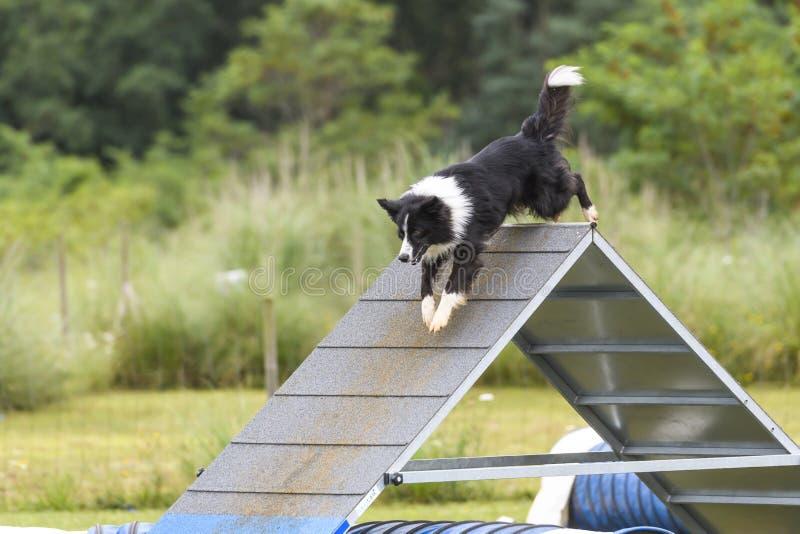 Perros en una competencia de la agilidad foto de archivo