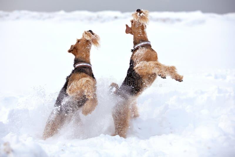 Perros escarchados del terrier del Airedale fotos de archivo