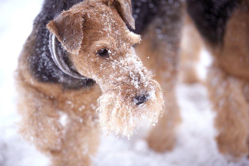 Perros escarchados del terrier del Airedale imagen de archivo libre de regalías