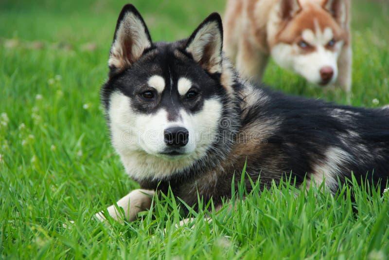 Perros esquimales que caminan en naturaleza foto de archivo