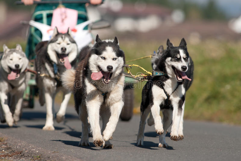 Perros esquimales siberianos imagen de archivo