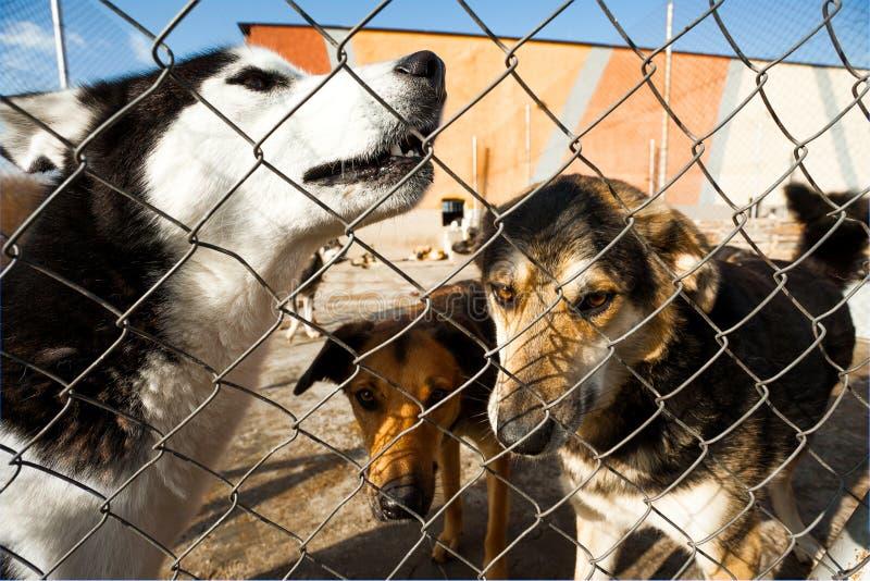 Perros fornidos del aullido del refugio fotos de archivo