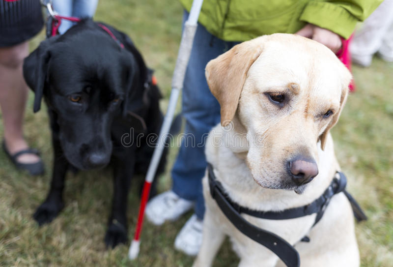 Perros guías fotografía de archivo