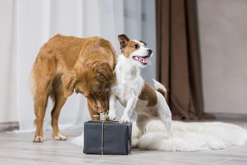 Perros Jack Russell Terrier y perro Nova Scotia Duck Tolling Retri imagen de archivo