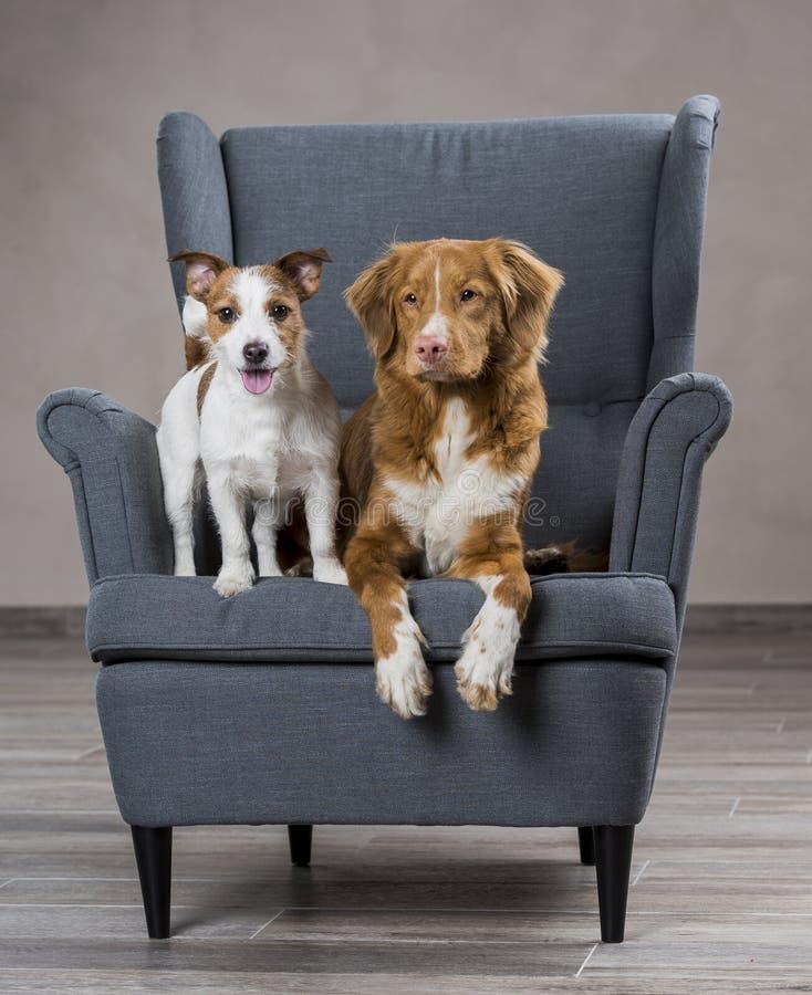 Perros Jack Russell Terrier y perro Nova Scotia Duck Tolling Retri fotografía de archivo