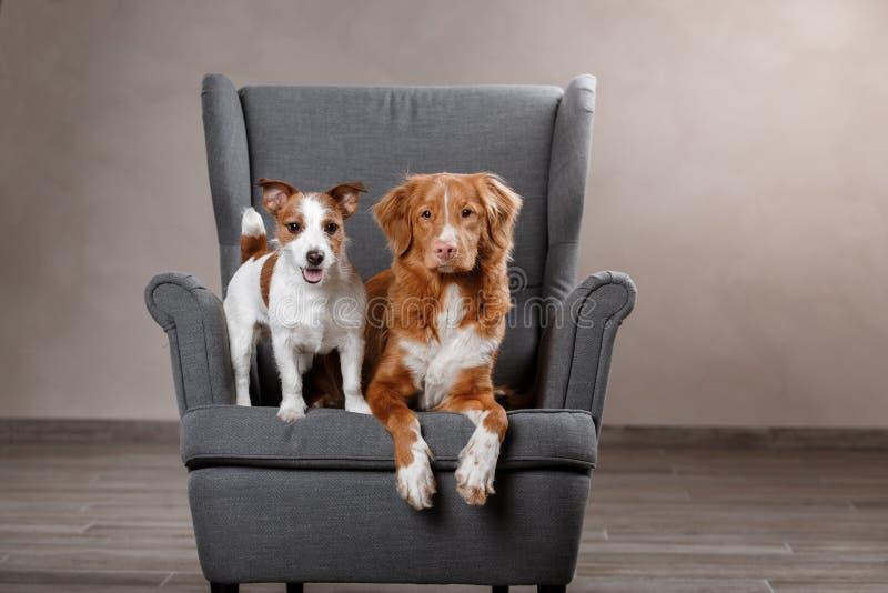 Perros Jack Russell Terrier y perro Nova Scotia Duck Tolling Retriever fotos de archivo