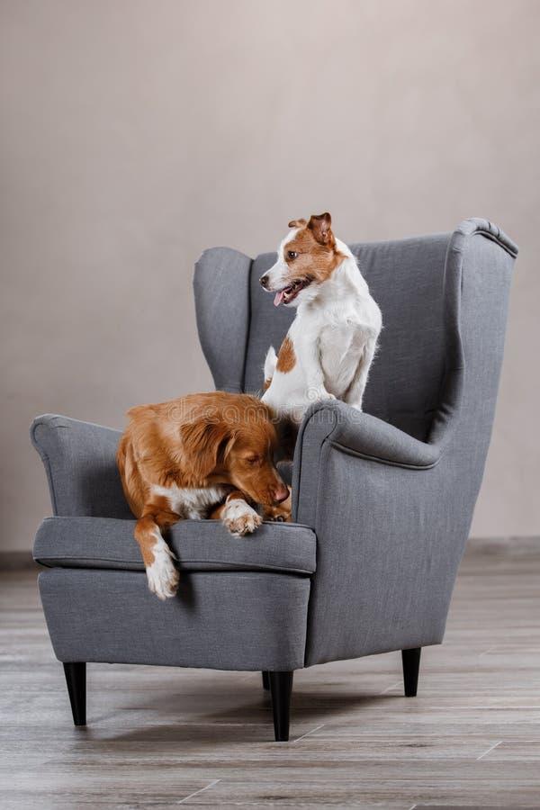 Perros Jack Russell Terrier y perro Nova Scotia Duck Tolling Retriever imagenes de archivo