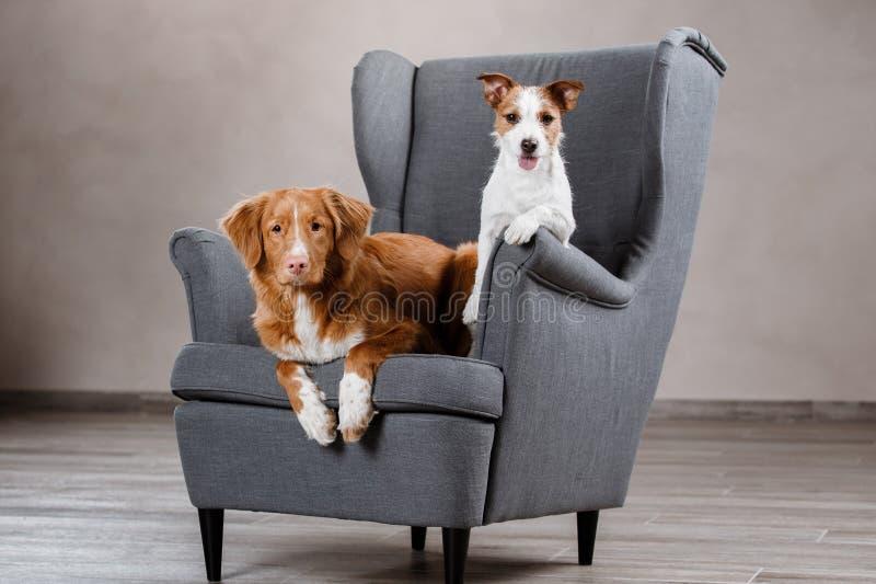 Perros Jack Russell Terrier y perro Nova Scotia Duck Tolling Retriever imagen de archivo