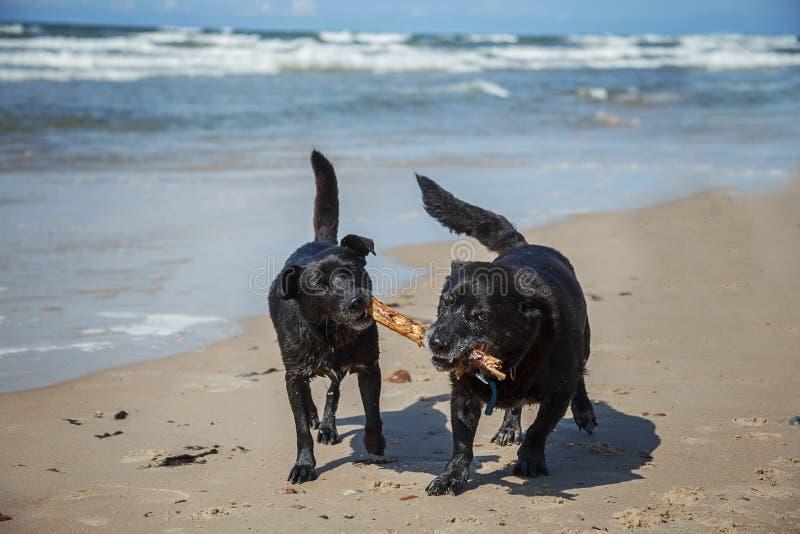 Perros jugando con palo imágenes de archivo libres de regalías