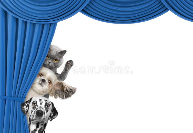 Perros lindos y gato que ocultan detrás de la cortina foto de archivo libre de regalías
