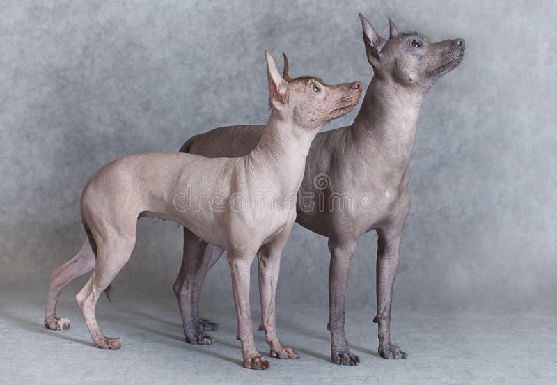 Perros mexicanos del xoloitzcuintle fotos de archivo