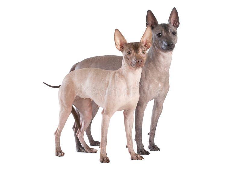 Perros mexicanos del xoloitzcuintle aislados en blanco fotos de archivo