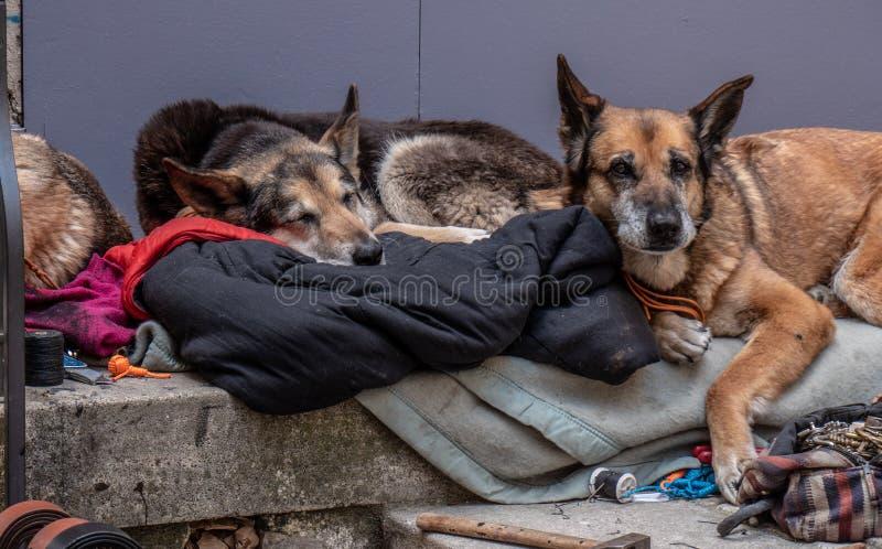 3 perros mienten dormido y dormitando en el umbral fotos de archivo libres de regalías