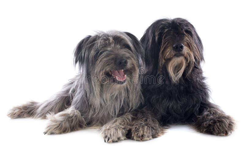 Perros pastor pirenáicos fotografía de archivo
