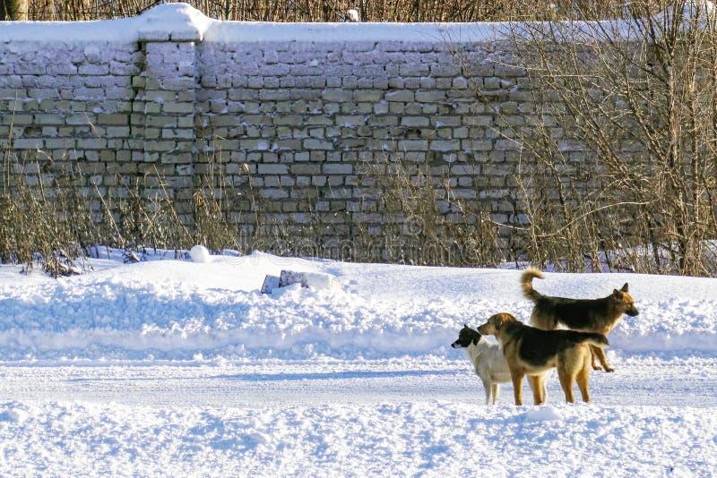 Perros perdidos en el camino del invierno fotos de archivo libres de regalías