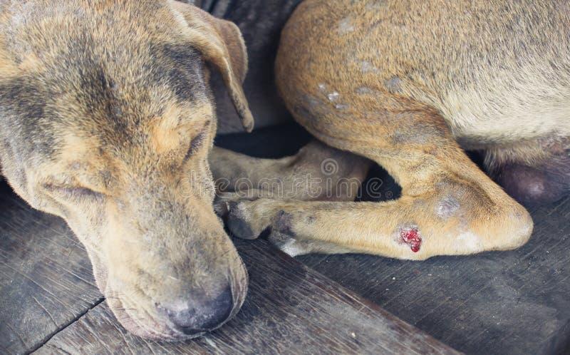 Perros perdidos heridos imagen de archivo