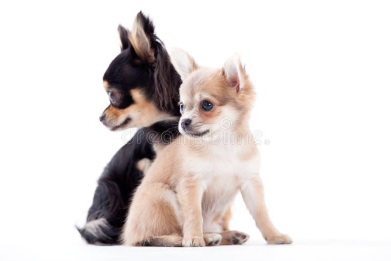 Perros preciosos de la chihuahua imágenes de archivo libres de regalías