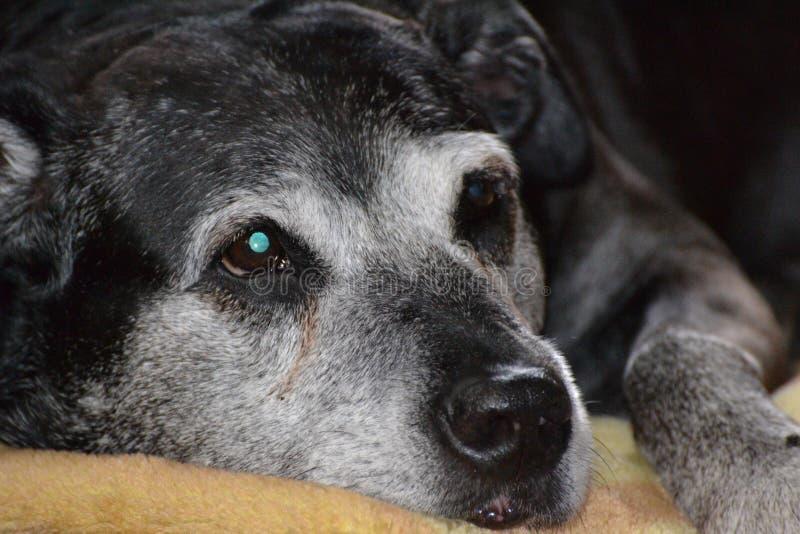 Perros que crecen viejos junto fotografía de archivo