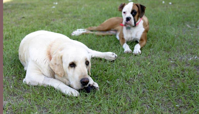 Perros que cuelgan hacia fuera imagen de archivo