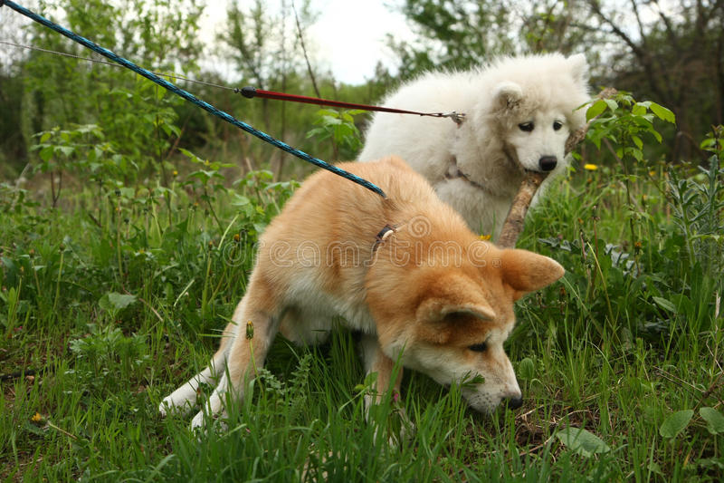 Perros que juegan en el prado imágenes de archivo libres de regalías