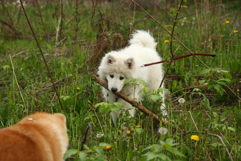 Perros que juegan en el prado fotos de archivo libres de regalías