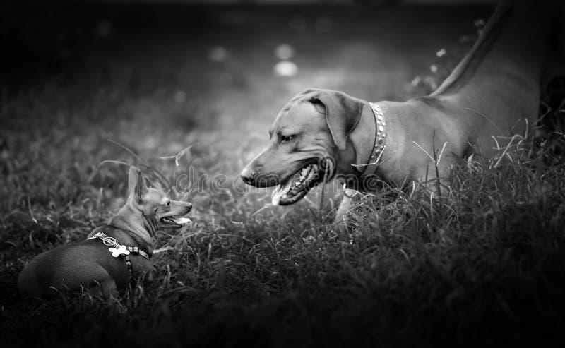 Perros que juegan en la yarda fotografía de archivo libre de regalías
