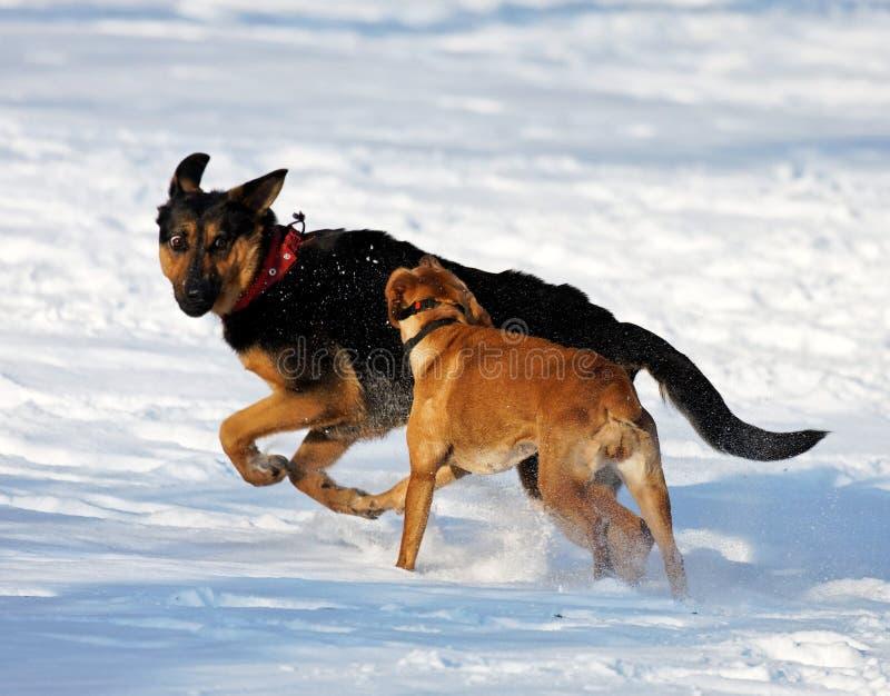 Perros que juegan en nieve fotografía de archivo