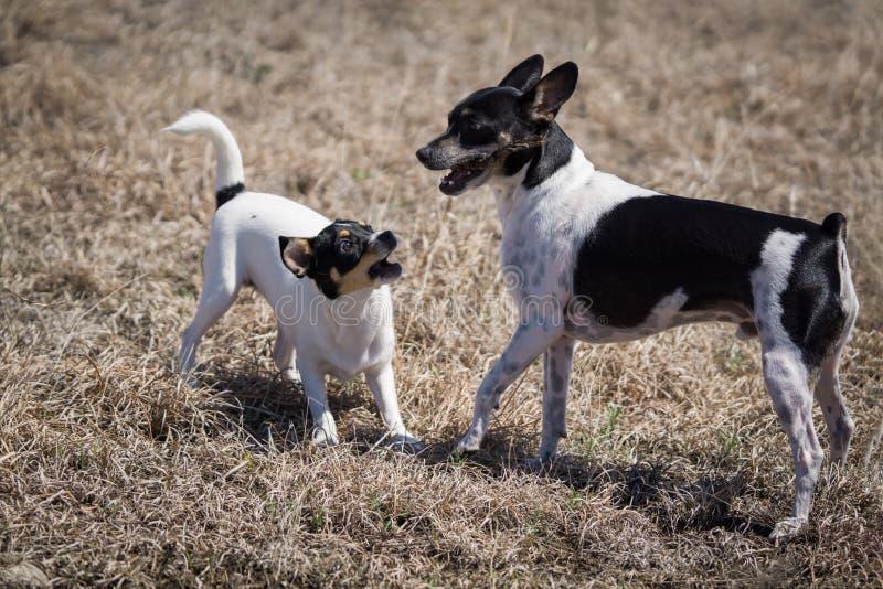 Perros que luchan sobre el palillo fotografía de archivo libre de regalías