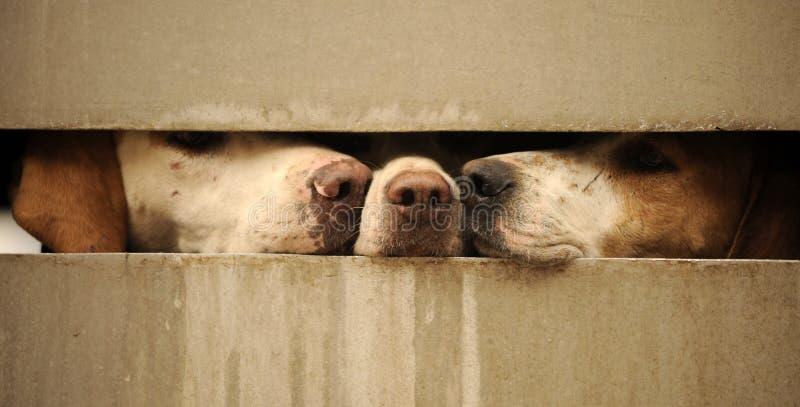 Perros que miran a través de la cerca