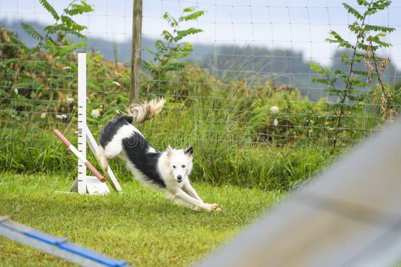 Perros que practican el deporte de la agilidad foto de archivo