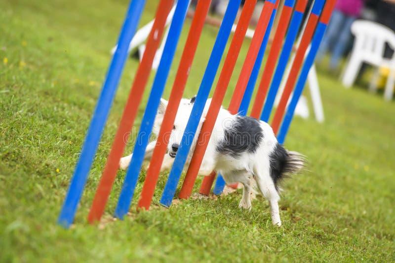 Perros que practican el deporte de la agilidad imagenes de archivo