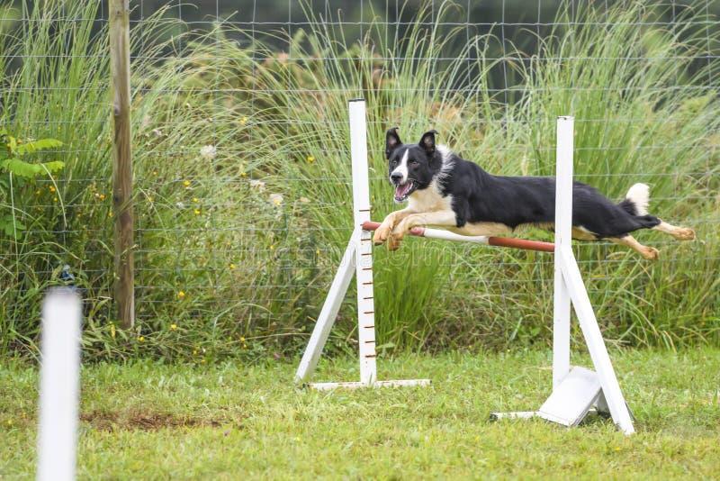 Perros que practican el deporte de la agilidad fotos de archivo libres de regalías