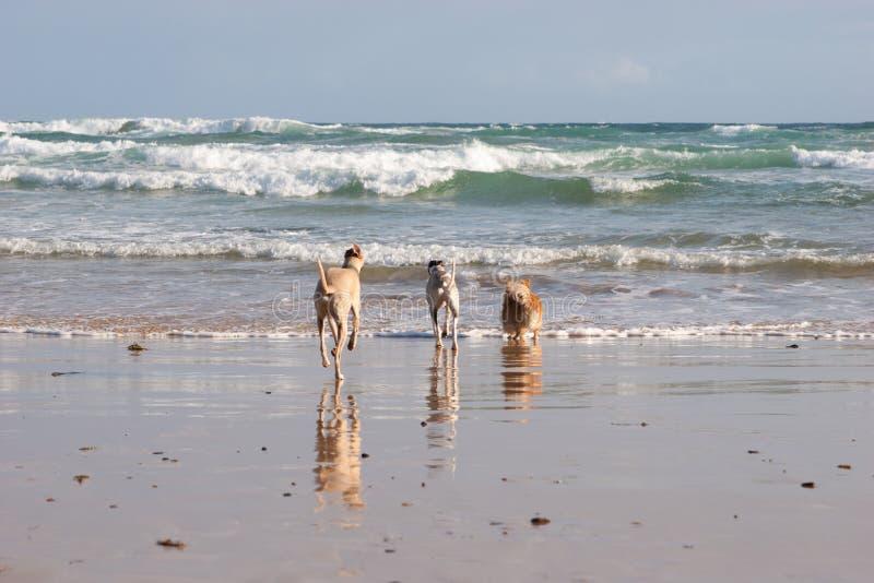 Perros que se ejecutan en el océano imágenes de archivo libres de regalías