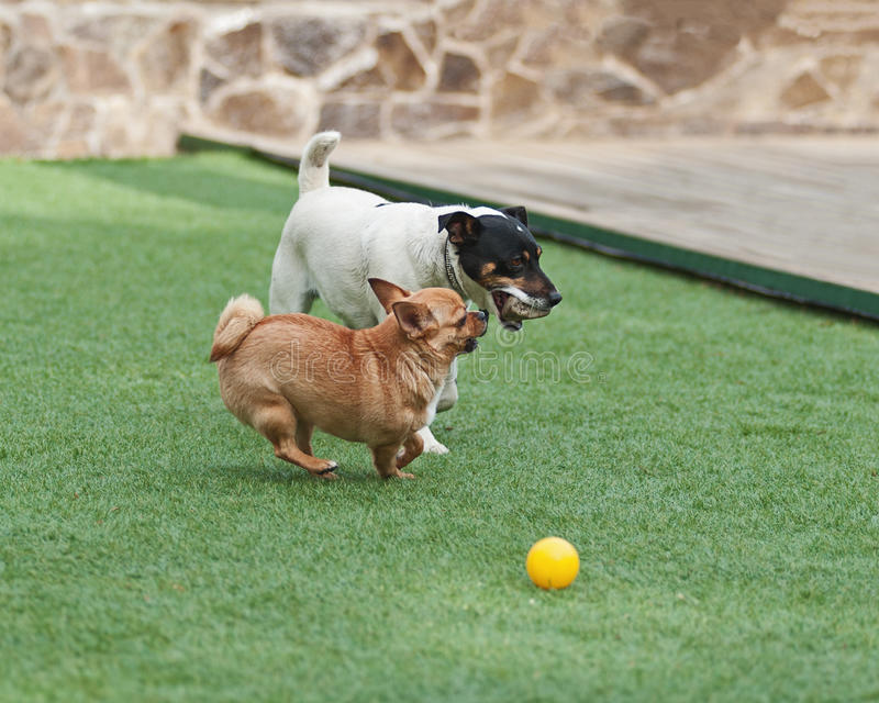 Perros rojos de la chihuahua y de Jack Russel Terrier en hierba verde fotos de archivo