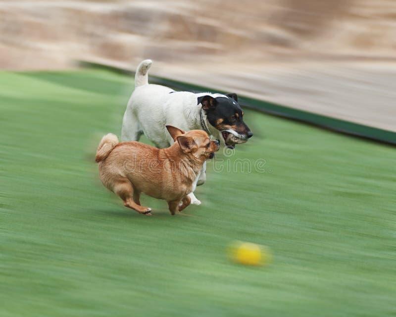 Perros rojos de la chihuahua y de Jack Russel Terrier en hierba verde fotografía de archivo