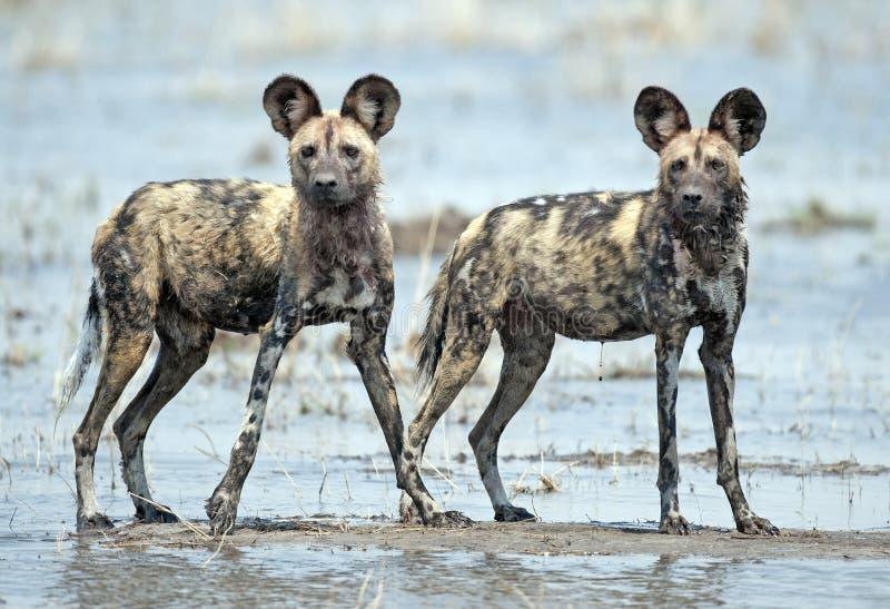 Perros salvajes africanos foto de archivo